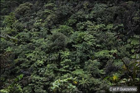 Tapis végétal avec fougères arborecentes