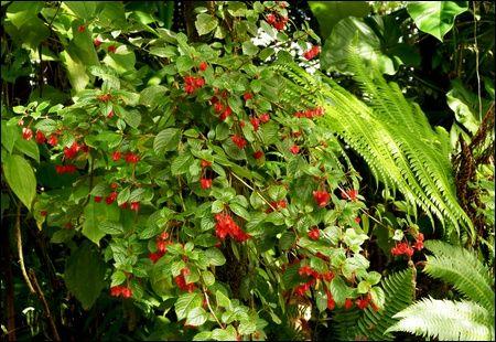 Crête à coq ou fuschia montagne, Alloplectus cristatus.