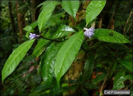 Graine bleue, Psychotria urbaniana