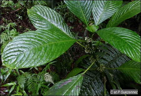 Le Branda Grand Bois, Psychotria discolor.