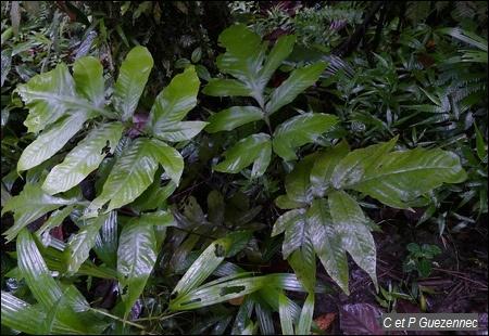 Fougère, Tectaria trifoliata