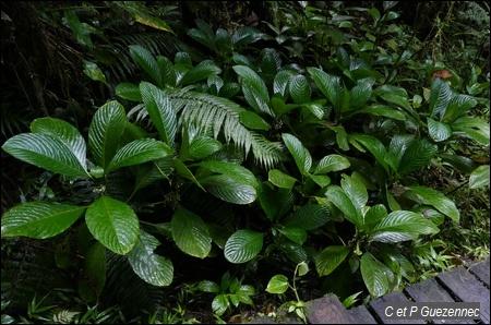 Psychotria discolor