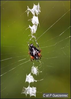 Araignée Witica crassicauda
