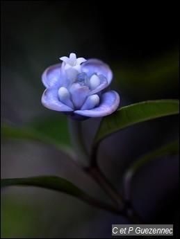 Graine bleue. Psychotria urbaniana