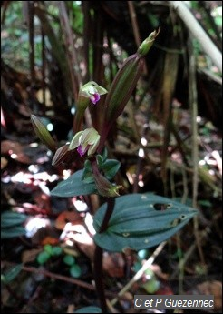 Orchidée Psilochilus macrophyllus