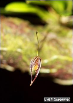 Orchidée Pleurothallis aristata