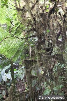 Broméliacée Tillandsia usneoides