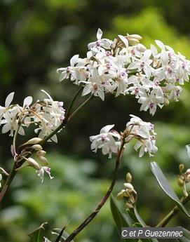 Orchidée Epidendrum patens
