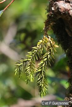 Lycopodium taxifolium.