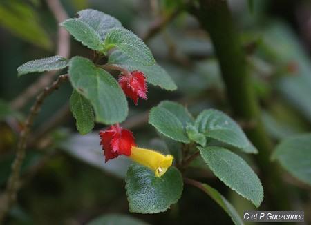 Crête à coq ou fuschia montagne, Alloplectus cristatus