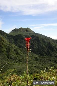 Ananas rouge, Pitcairnia bifrons