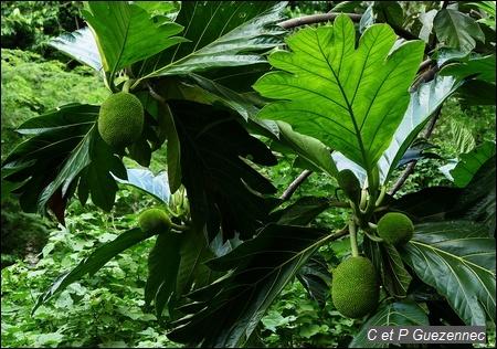 Châtaignier Artocarpus altilis seminifera