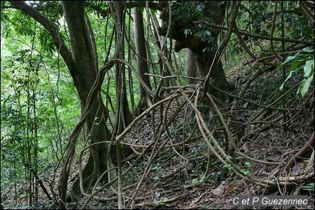 Liane, Bauhinia guianensis.