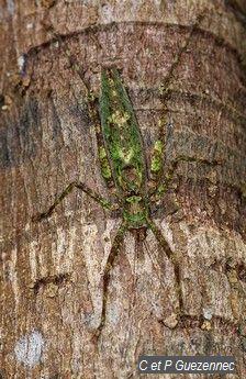 Sauterelle. Xerophyllopteryx fumosae