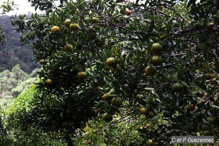 mandarinier, Citrus reticulata