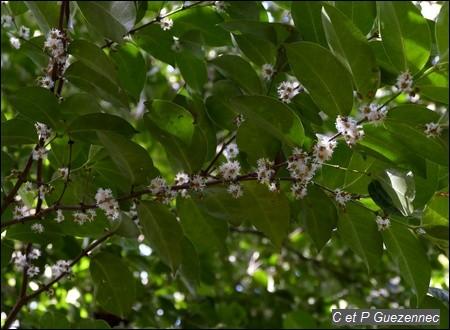 Bois d'Ail, Cassipourea guianensis