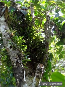 Touffe d'orchidée Epidendrum ciliare