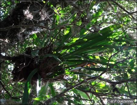 Abeille d'or, Oncidium altissimum