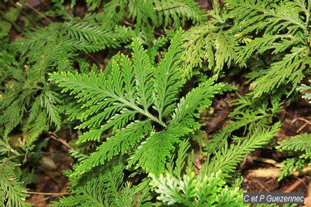 Selaginella flabellata