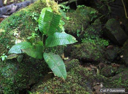 Tectaria plantaginea