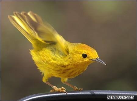 Paruline jaune ou Ti jaune. Dendroica petechia