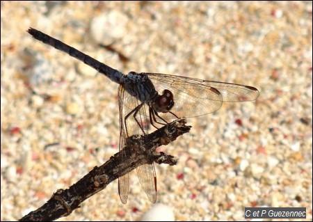 Libellule mâle, Erythrodiplax berenice