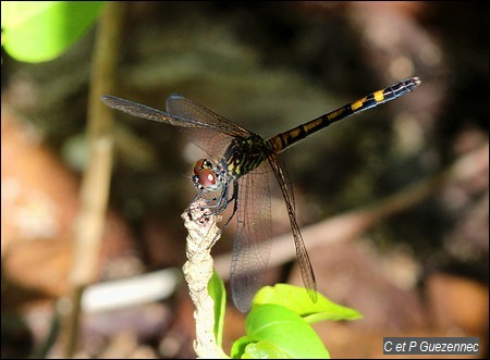 Libellule femelle, Erythrodiplax berenice