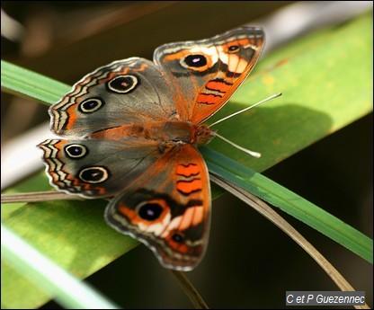 Papillon mangrove, Junonia genoveva
