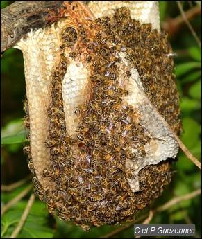 Ruche d'abeilles sauvages