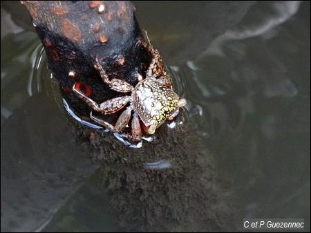 Crabe de palétuvier, Aratus pisonii
