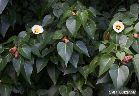 Catalpa en fleur, Thespesia populnea