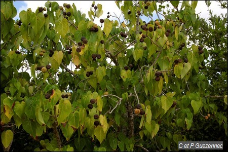 Catalpa en fruit, Thespesia populnea