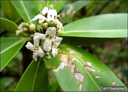 Fleurs de Palétuvier Noir, Avicennia germinans