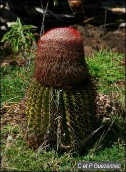 """Cactus """"Tête à l'Anglais"""", Melocactus intortus"""