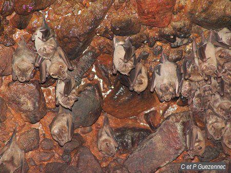 Guimbo Fer de lance commun ou Artbée de la Jamaique (Artibeus jamaicensis)